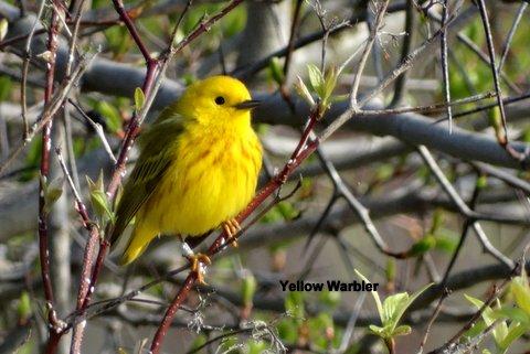 yellowwarbler-1