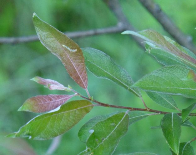 Bebb's Willow (Salix bebbiana)