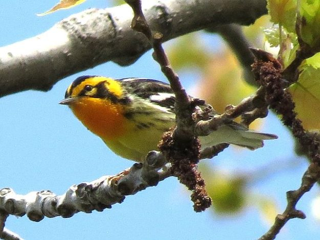 Blackburnian Warbler (photo: Ken Sproule)