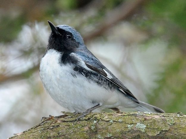 Black-throated Blue Warbler (photo: Ed McAskill)