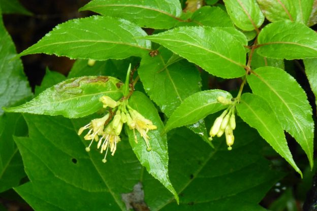 Bush Honeysuckle (Diervilla lonicera)