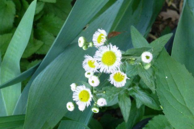 Daisy Fleabane (Erigeron annuus)