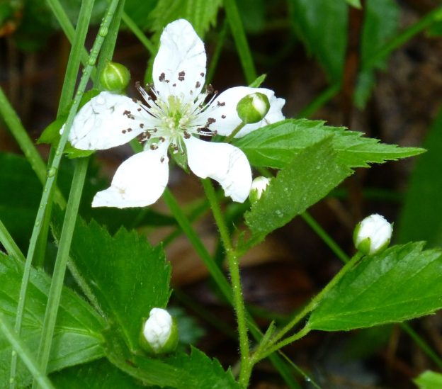 Dewberry (Rubus flagellaris)
