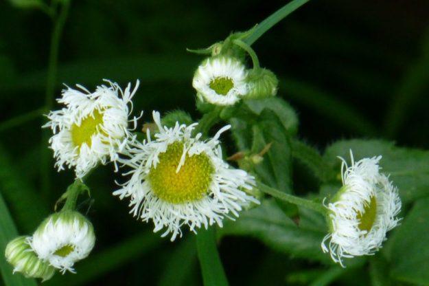 Daisy Fleabane (Erigeron annus)