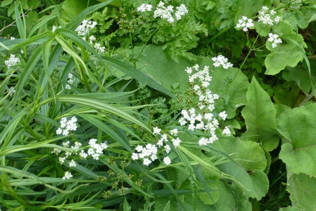 Hedge Parsley ( Torilis japonica)