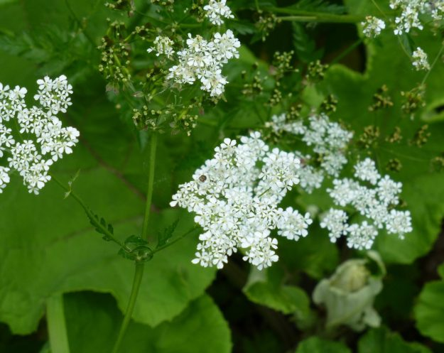 Hedge Parsley (Torilis japonica)