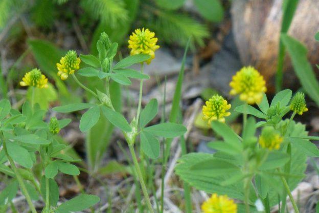Hop Clover (Trifolium aureum)