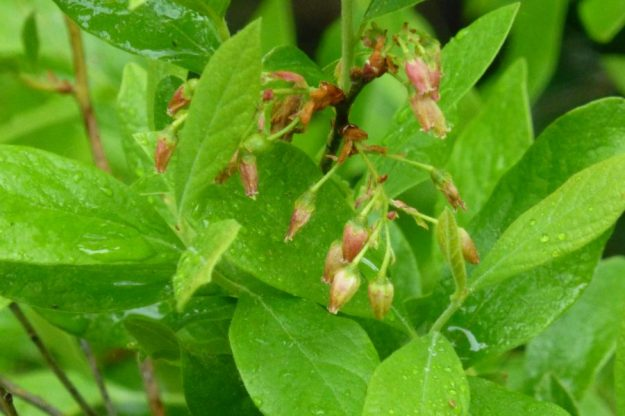 Huckleberry (Gaylussacia baccata)
