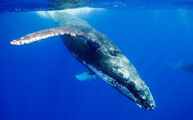 humpback-1