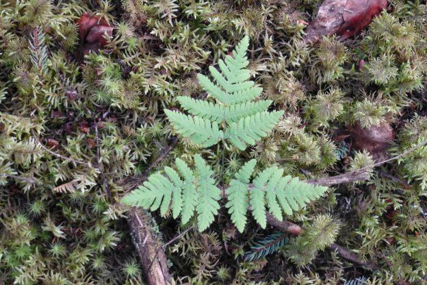 Oak Fern