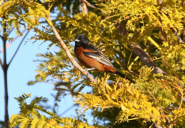 Orchard Oriole (male) photo: Wikimedia