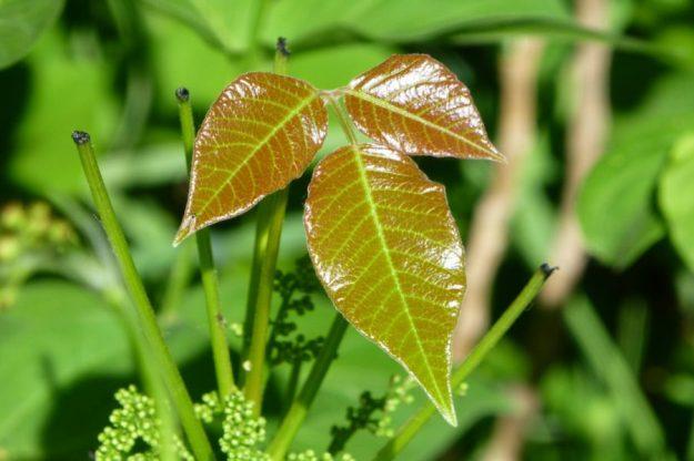 Poison Ivy (Toxicodendron rydbergii)