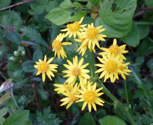 Golden Ragwort (Packera aurea)