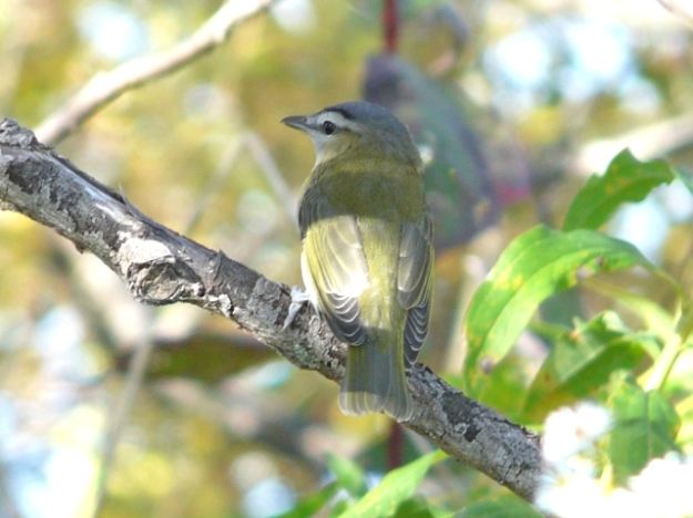 Red-eyed Vireo (Photo: Ken Sproule)