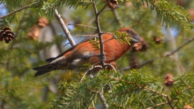 Red Crossbill (photo: Wikimedia)