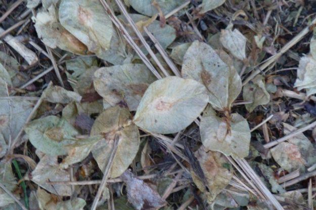 Scotch Elm seeds (Ulmus glabra)