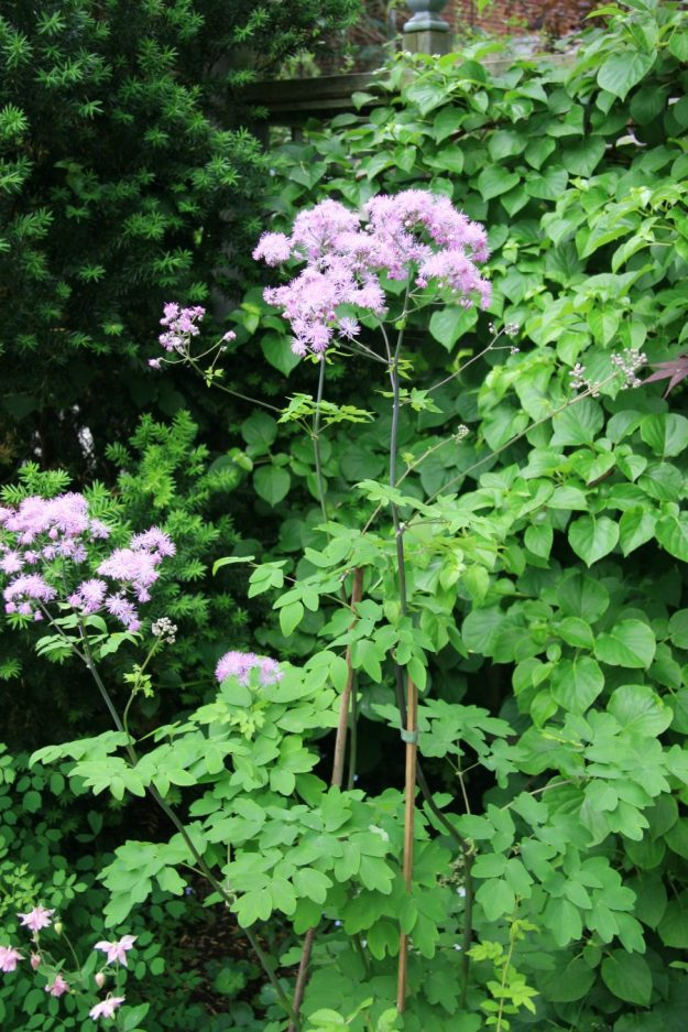 Thalictrum (Meadow Rue)