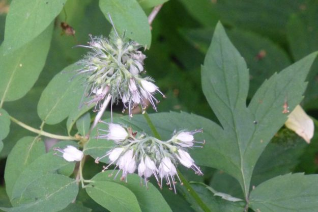 Virginia Waterleaf (Hydrophyllum virginianum)