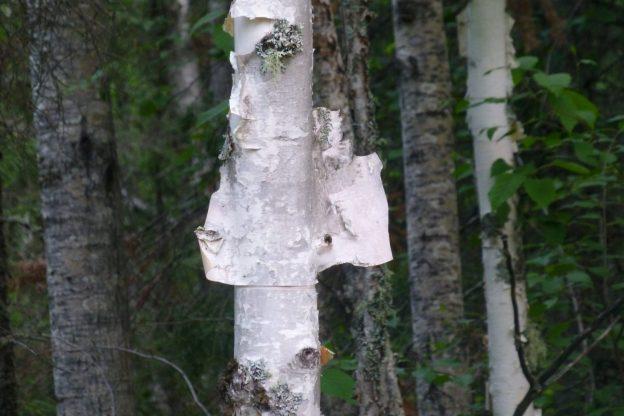 White Birch (Betula papyrifera)