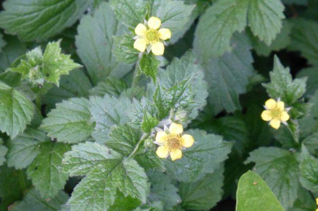 Yellow Avens (Geum allepicum)