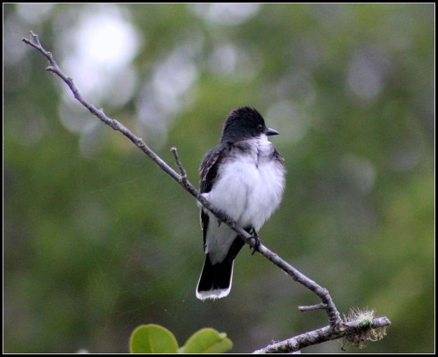 Eastern Kingbird (photo: wikimedia)