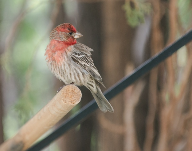 House Finch (photo: flickr)