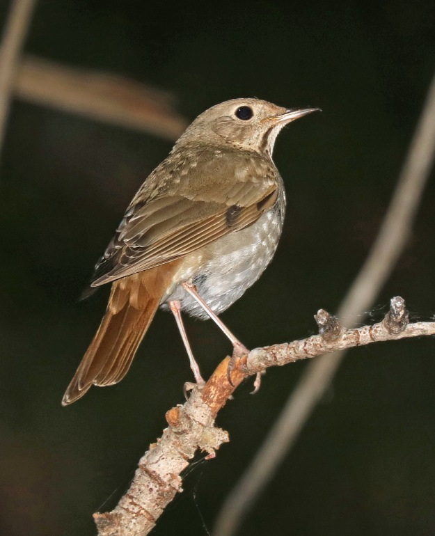 Hermit Thrush (photo: flickr)