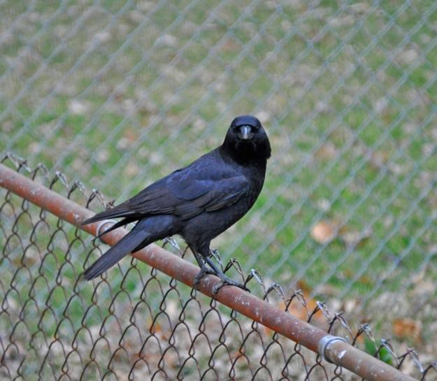 American Crow (photo: wikimedia)