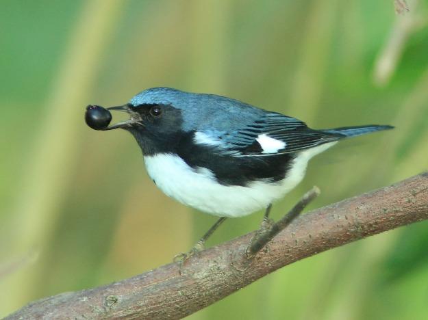 Black-throated Blue Warbler (photo: flickr)