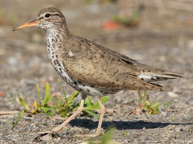 Spotted Sandpiper (photo: wikimedia)