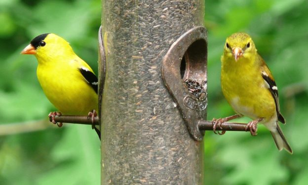 American goldfinch: male (left) and female (right)
