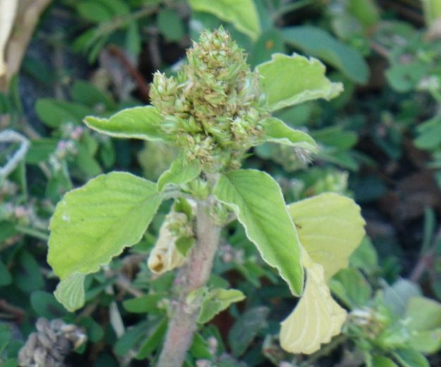 Redroot Pigweed (Amaranthus retroflexus)