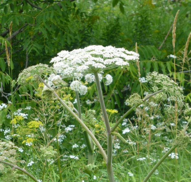 Great Angelica (Angelica atropurpurea)