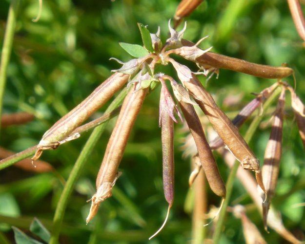 Bird's Foot Trefoil (Lotus corniculatus)