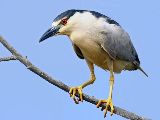 Black-crowned Night Heron (photo: wikimedia)