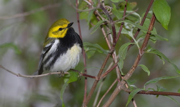 Black-throated Green Warbler (photo: wikimedia)