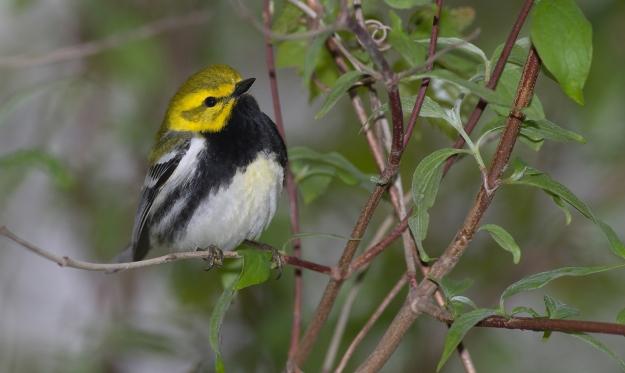 Black-throated Green Warbler (photo: wikimedia)