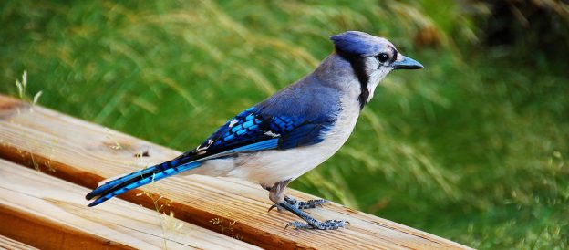 Blue Jay (photo; wikimedia)