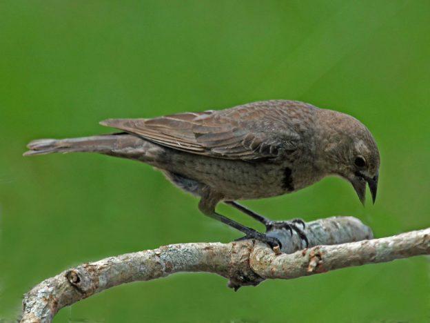 Brown-headed Cowbird (female) photo: wikimedia