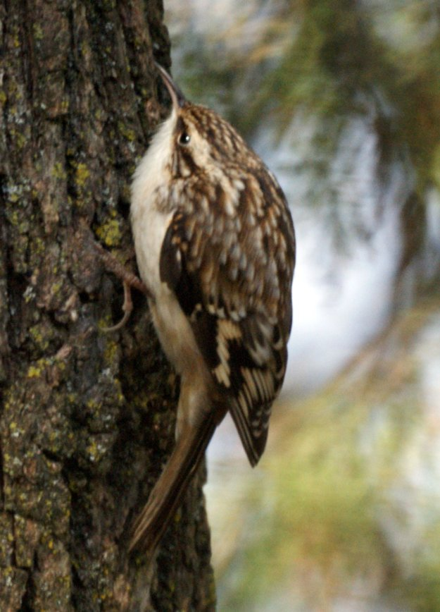 Brown Creeper (photo: wikimedia)
