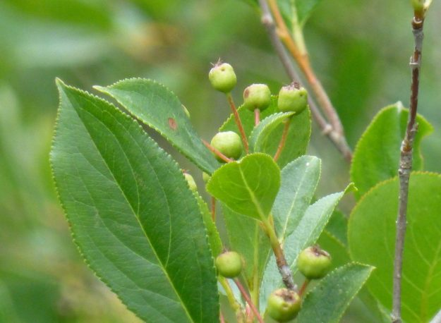 Chokeberry (Aronia prunifolia)