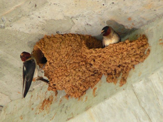 Cliff Swallow (photo: wikipedia)