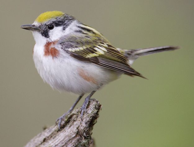 Chestnut-sided Warbler (photo: wikimedia)