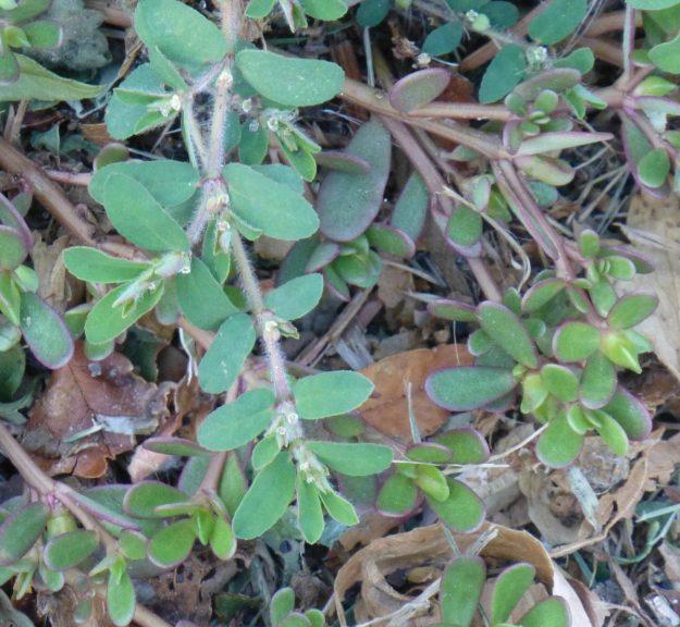 Knotweed (Polygonum aviculare)