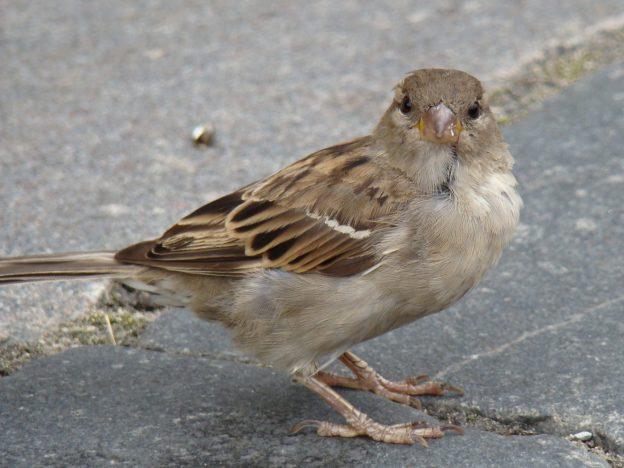 House Sparrow (female) photo: wikimedia