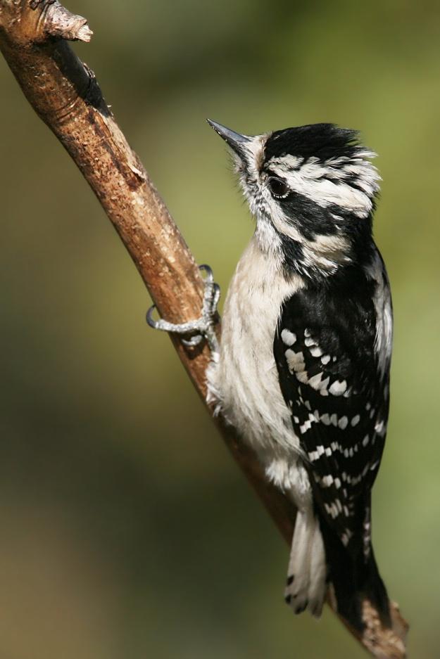 Downy Woodpecker (female) photo : wikimedia
