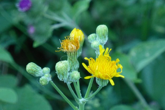 Field Sow Thistle (Sonchus arvensis)