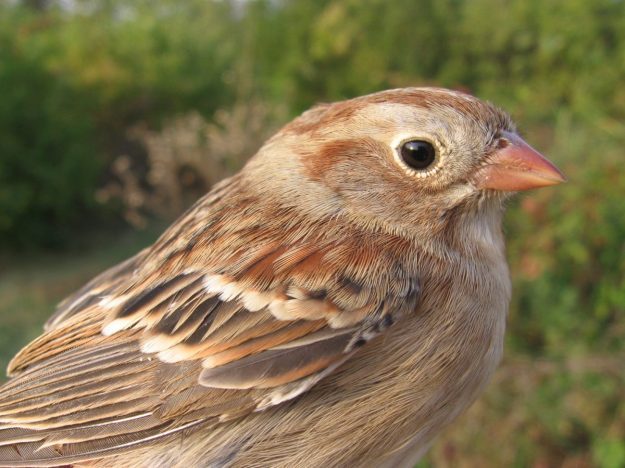 Field Sparrow (photo: wikipedia)