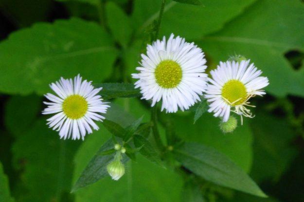 Daisy Fleabane( Erigeron annuus)