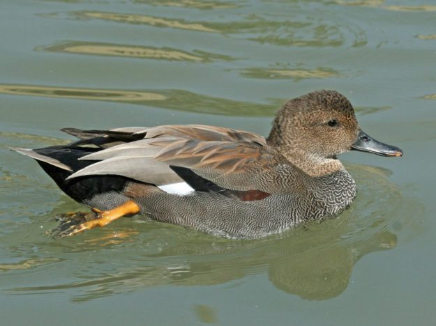 Gadwall  (male) photo: wikimedia
